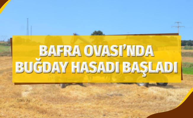 Bafra Ovası'nda buğday hasadı başladı