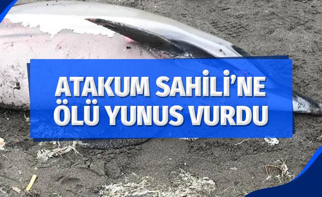 Samsun'un Atakum ilçesi sahiline ölü yunus vurdu.