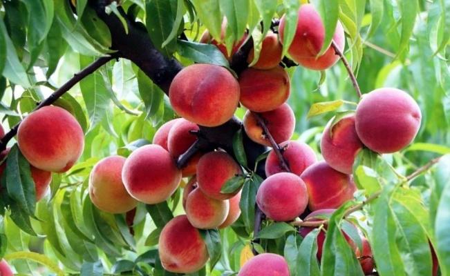 Samsun'da Akdeniz meyve sineği ile mücadele devam ediyor