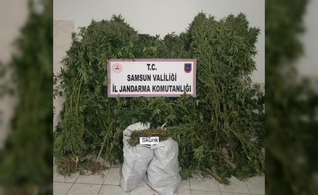 Bafra'da 12 bin 769 gram skunk bitkisi ele geçirildi