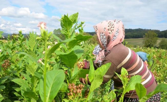 Samsun tarım ürünlerinde Türkiye'yi besliyor