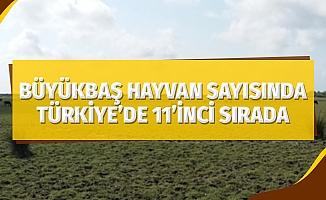 Samsun, büyükbaş hayvan sayısında Türkiye'de 11'inci sırada