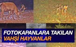 Fotokapanlara vaşak ve birçok yaban hayvanı takıldı